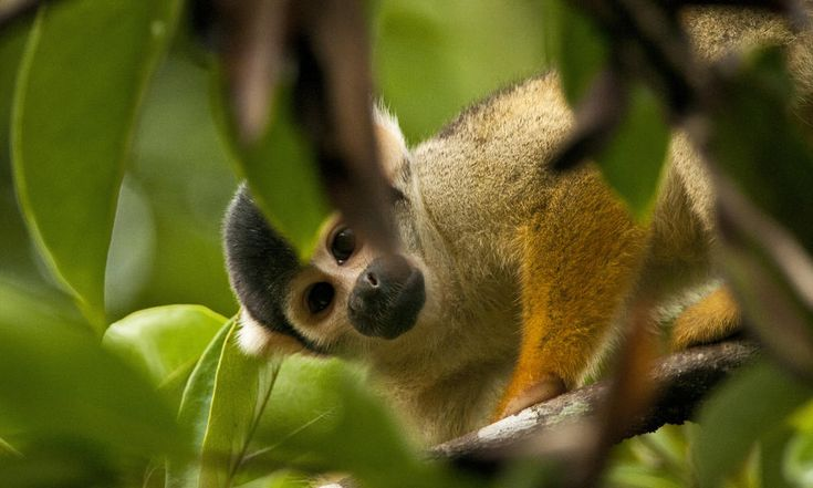 BRAZILIAN RAINFOREST FOREVER PROTECTED! Animal organizations and Advocates got together with other countries to help enact this and they've WON!!!! Such great news!! Squirrel Monkey Amazon.