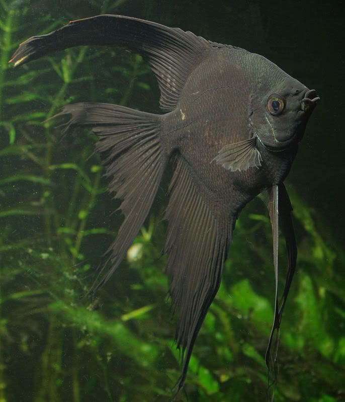 Best 25 angelfish ideas on pinterest pretty fish for Freshwater fish facts