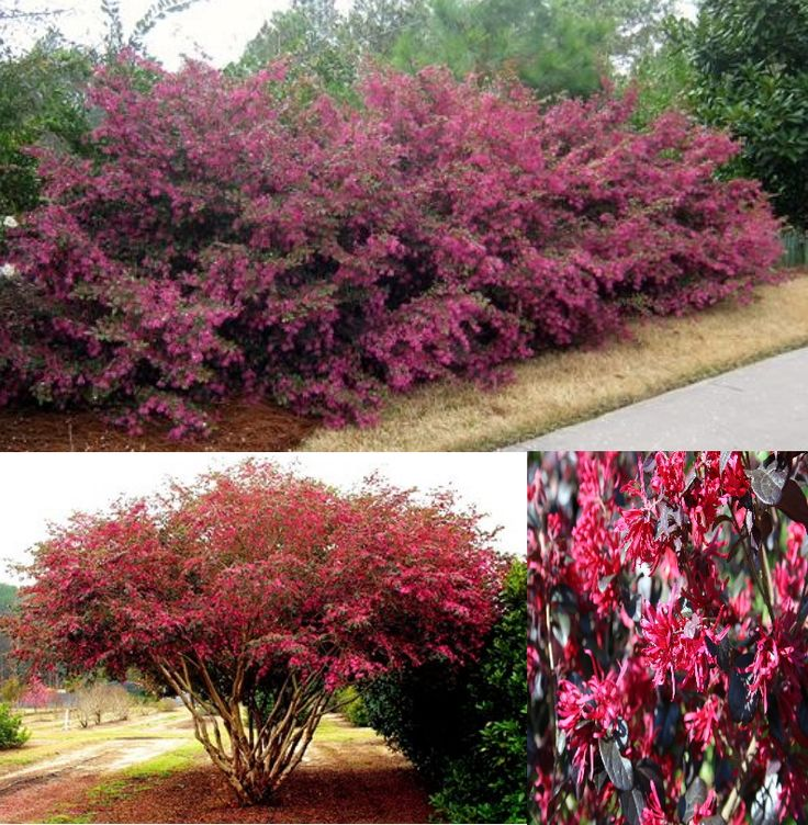 1000+ Ideas About Fast Growing Shrubs On Pinterest