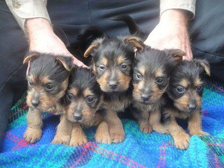 Dandiba Australian Terrier Puppies