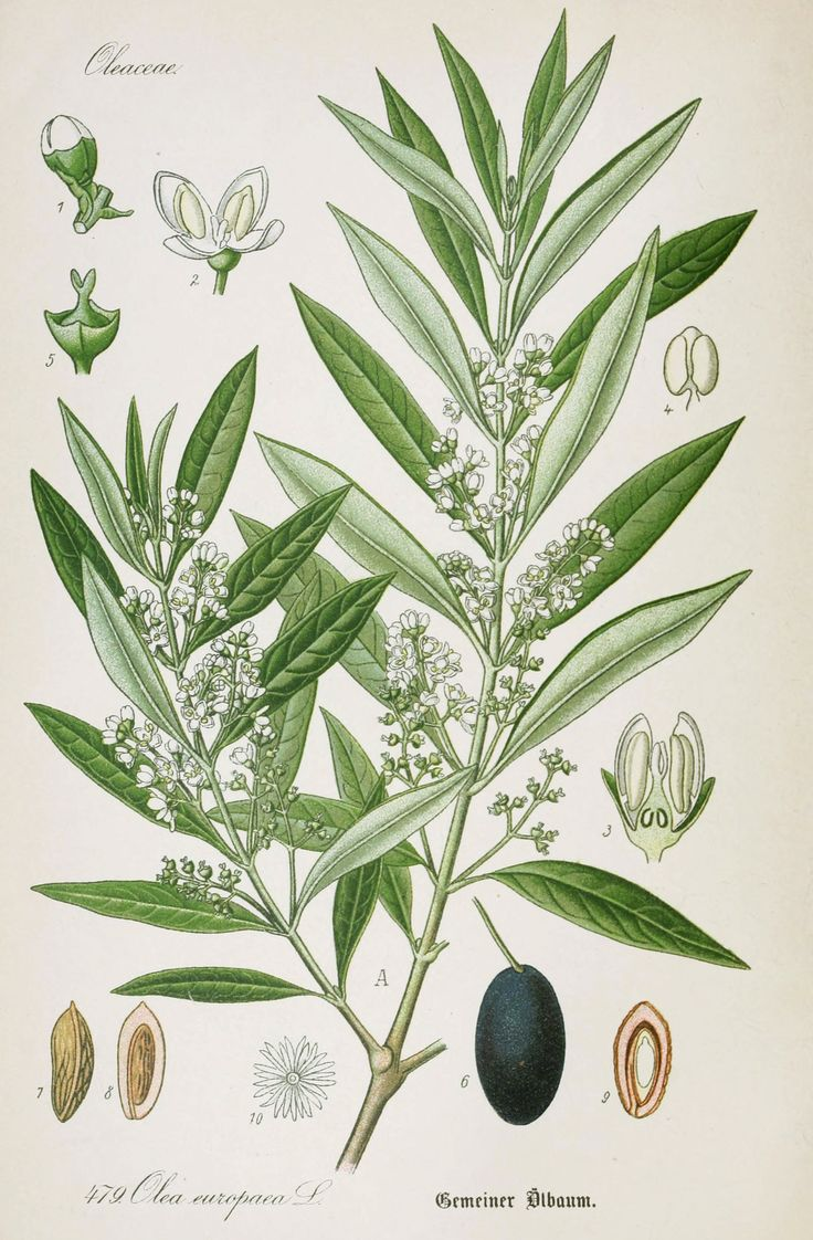 Olive Botanical Illustration from Flora of Germany circa 1903 (check copyright)