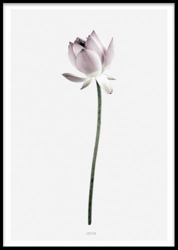 Lotus, poster. Affisch med lotusblomma. Vacker botanisk poster med fotografi på en lotusblomma. Postern har grå bakgrund med vit kant. Passar fint tillsammans med vår andra botaniska poster Magnolia i samma serie, eller matcha detta print med en fin texttavla med citat.