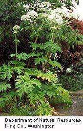 HOG WEED_ ALERT_ WILD PLANT_Officials warn those who think they've found a giant hogweed plant to stay away from it, keep pets and livestock from grazing on it, and make sure children and pets don't play around it