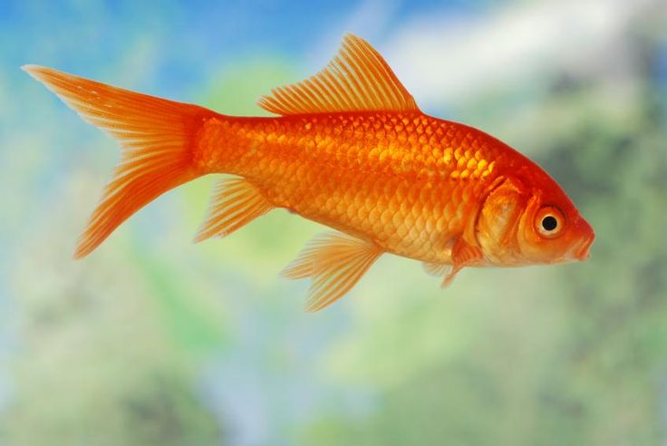 Types of Goldfish [Slideshow]