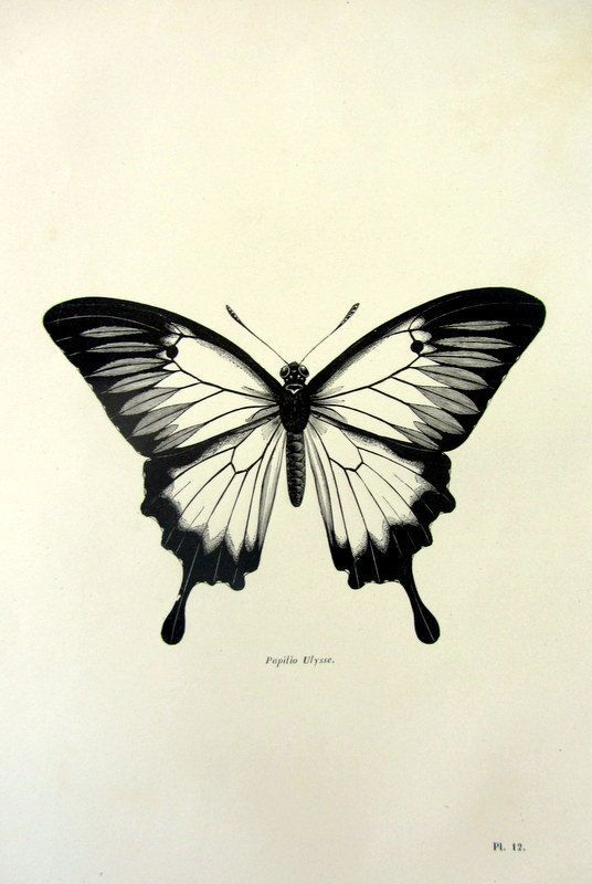 1860 Antique Ulysses butterfly print vintage insect engraving oddity ...