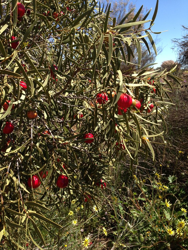 Quandong tree loaded with fruit.