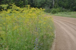 Have you ever ran into wild parsnip!?