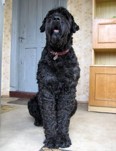 Black Russian Terrier- this one totally looks like the one I use to have, her name was Matilda