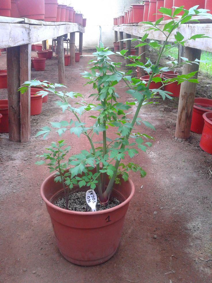 """Planta de """"Levisticum officinale"""", conocida también como apio del monte, levístico o planta maggi."""