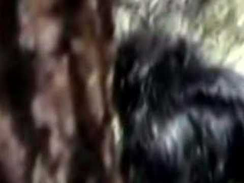 Harley Hoffman's controversial video of Bigfoot. Do you think it is real?