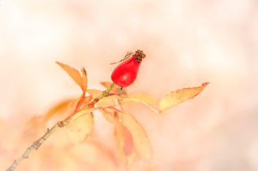 Rosehip in autumn