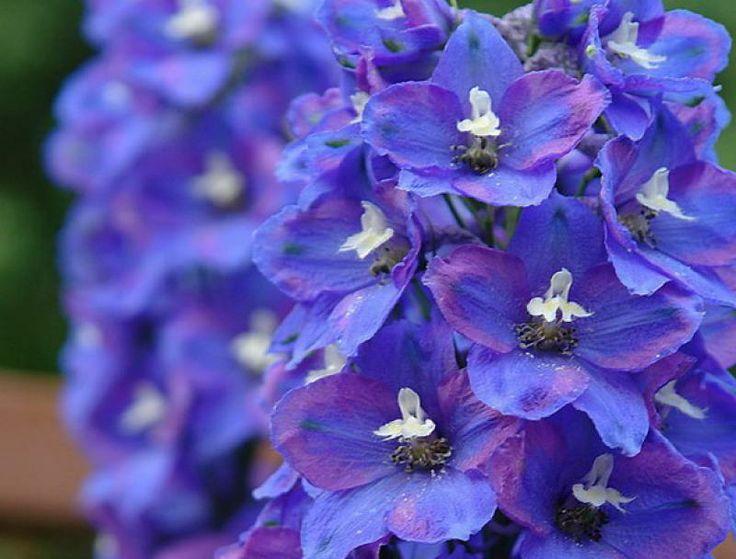 Delphinium_cultorum_Excalibur_Dark_Blue_White_Bee.jpg (800×608)