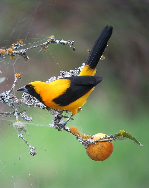 The Yellow-backed Oriole (Icterus chrysater) is a species of bird in the Icteridae family. Yellow-backed orioles are found throughout Central America and northern South America.  Nations that have native populations of this species include Belize, Colombia, El Salvador, Guatemala, Honduras, Mexico, Nicaragua, Panama, and Venezuela.