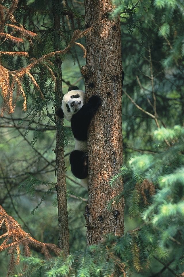 """"""" Panda Cub in Tree by (Official San Diego Zoo) """""""