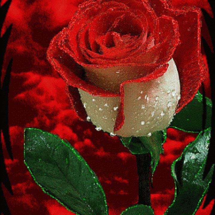 Imágenes de rosas de amor con movimiento y brillo para descargar gratis al celular, móvil y tableta. Son animaciones GIFs de rosas rojas, rosadas, blancas para dedicar por amor y amistad.
