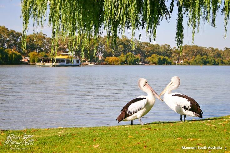 Pelicans - Mildura - Australia