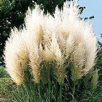 White Pampas Ornamental Grass.  Also comes in pink, grows quickly, is very large, and easy to care for.  I'm thinking this would be PERFECT for a privacy plant in our front yard.