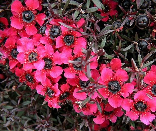 Western Australian Flowers - Myrtle by Georgie Sharp, via Flickr I love these shrubs.