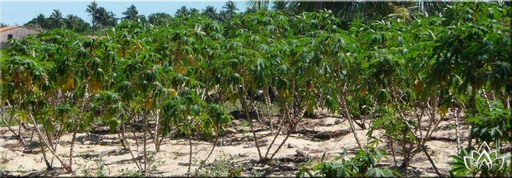 manioc issan loei retraite expatriation thailande olivier polome