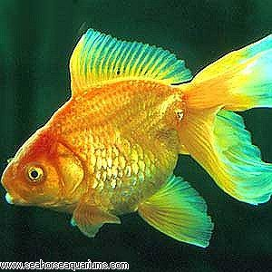 Red fantail goldfish lifespan - photo#21