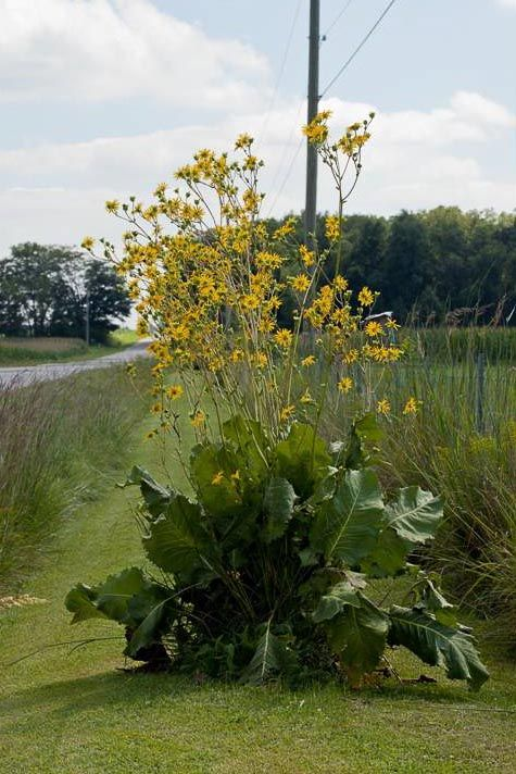 75 best silphium images on pinterest