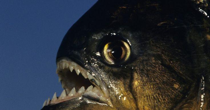 La anatomía de las pirañas. Las pirañas pertenecen a la familia Characidae de peces y viven en la selva amazónica. Los dientes afilados y la cabeza cóncava distingue a las pirañas de otros peces. Sin embargo, como muchos otros peces, poseen aletas y branquias, que les ayudan a respirar bajo el agua. Las pirañas sólo presentan un peligro cuando los seres humanos están ...