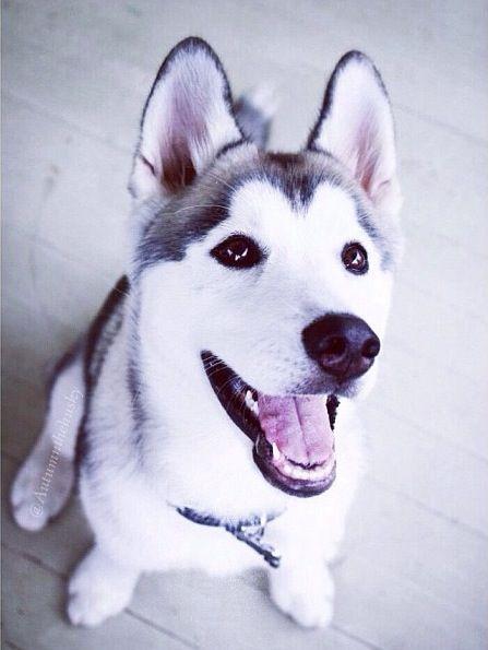 Happy Siberian Husky