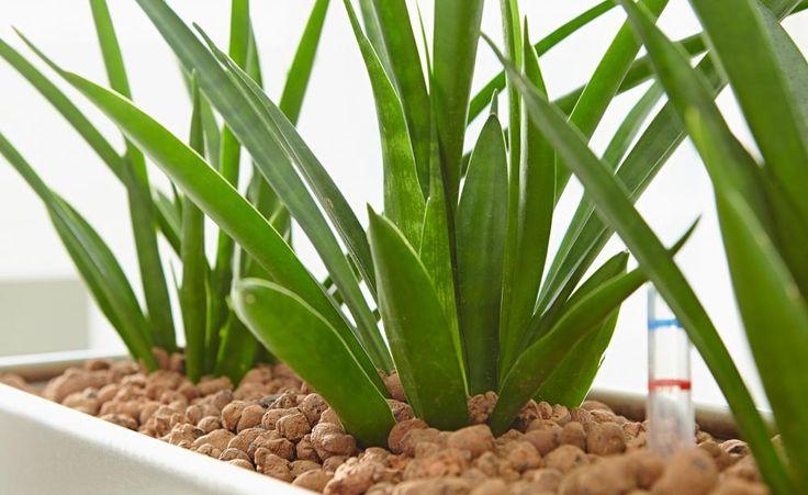 Hydrokultur und Co: Pflanzsysteme fürs Zimmer -  Wer seine Zimmerpflanzen in Blumenerde kultiviert, braucht zum Gießen Disziplin und ein gutes Händchen. Eine gute und einfache Alternative dafür sind Pflanzsysteme mit Wasserspeicherfunktion.