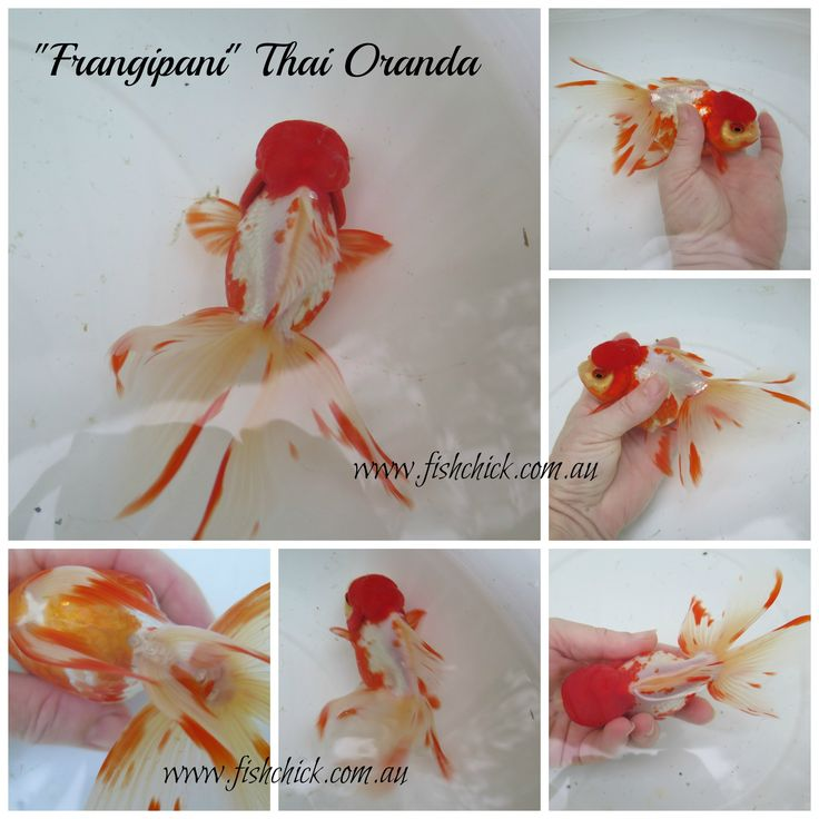Beautiful high head oranda goldfish from Thailand. Contact fishchick@gmail.com for details