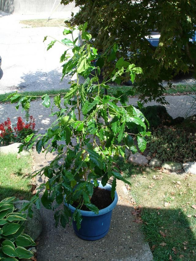 Coffee—Growing Coffee Plants: The Coffee arabica plant can be grown in containers, like this six-foot specimen.