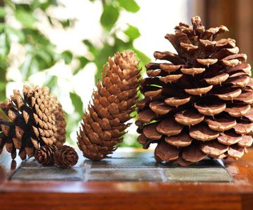 Pinecones grow in a variety of shapes and sizes.
