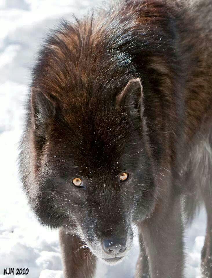 банке волки камчатки фото легкий