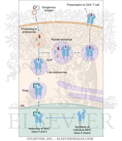 MHC class II antigen presentation