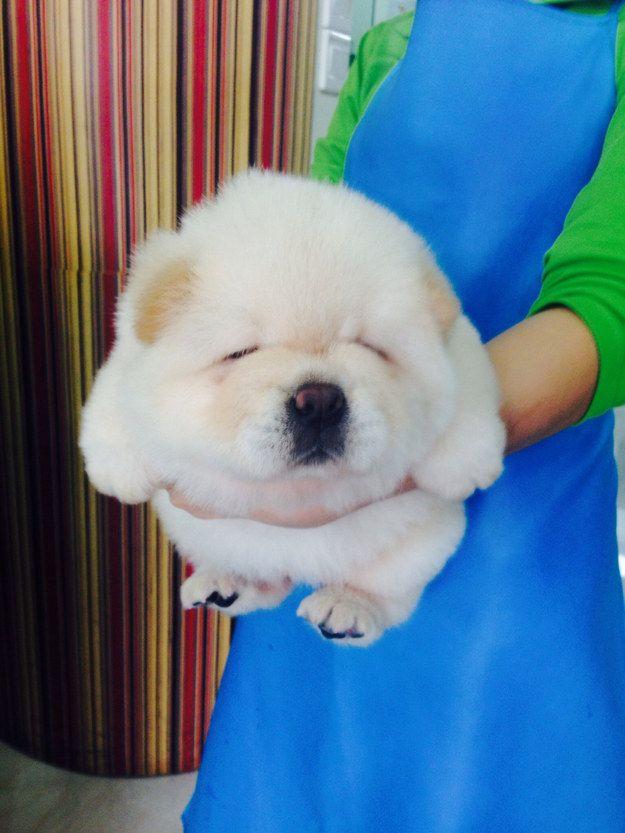 O cachorro marshmallow | As 100 fotos caninas mais importantes de todos os tempos