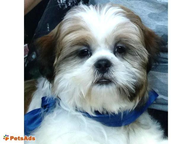 3 Monate Alter Shih Tzu Rude Dreifarbiger Shih Tzu Welpe Auf Der Suche Nach Dem Richtigen Zuhause Unser Alter Auf Dem De Shih Tzu Welpen Kleine Hunde