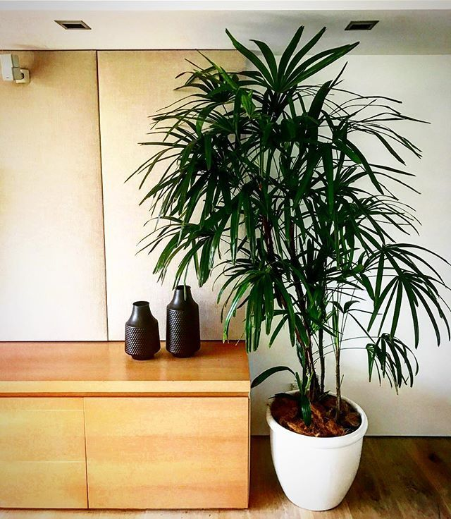 This Raphis Palm is the perfect impact house plant. It loves being indoors, and is low maintenance too. 🌿💚🏠