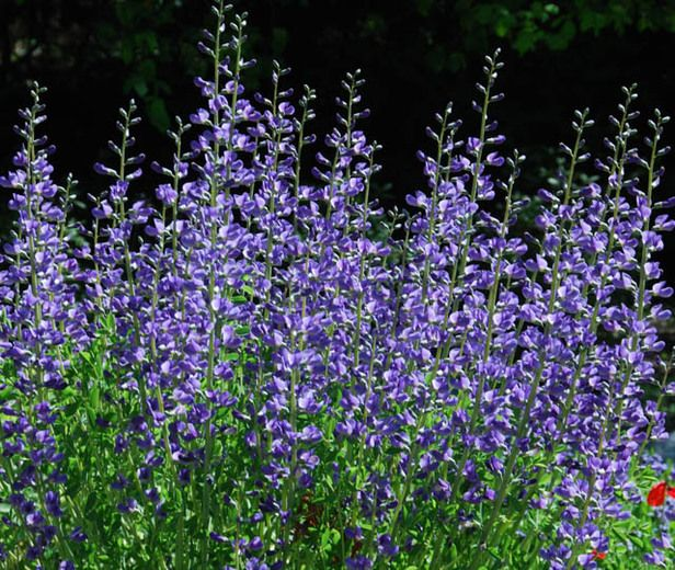 Common Purple Garden Flowers 11 best native plants images on pinterest | native plants