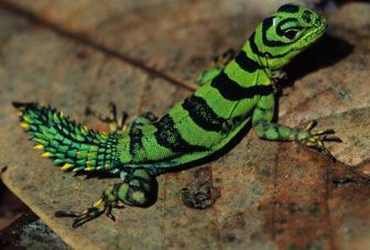 Amazon Rainforest Animals And Plants | Lizard in the Mountains of Tumucumaque National Park, Amapa, Brazil ...