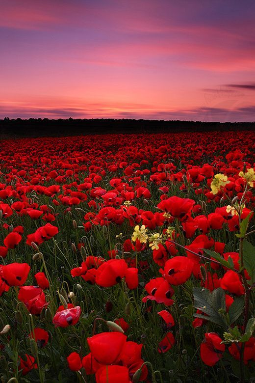 Poppy Field Sunset, Italy                                                                                                                                                                                 Mais