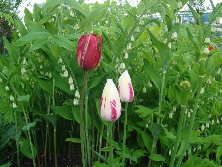 Tulipany+kokoryczka