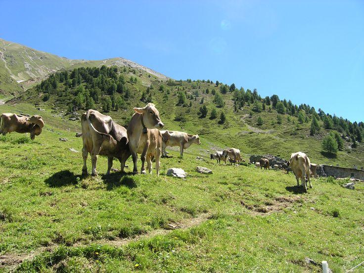 Ook de koeien vermaken zich prima in Livigno.