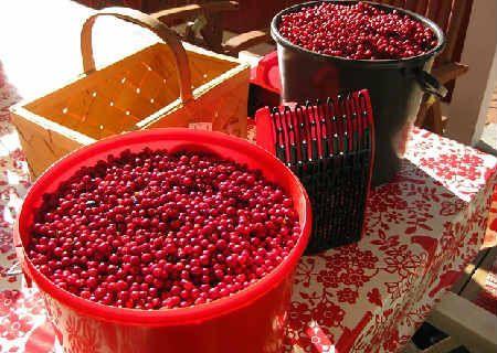 Брусника ягоды полезные свойства и противопоказания листья_сбор