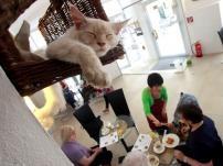 Não foi fácil para a japonesa Takako Ishimitsu, de 47 anos, convencer as autoridades de Viena que um café cheio de gatos não traria problemas higiénicos.  Depois de três anos de negociações, abriu esta terça-feira o primeiro café de gatos nesta cidade austríaca.  Os cinco animais - Sonja, Thomas, Moritz, Luca e Momo - andam pelo estabelecimento e convivem com os clientes.  O «Café Neko» (neko significa gato em japonês) recebe os gatos de um abrigo local.