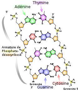 Acide désoxyribonucléique → ADN ARN acide nucléique réplication réparation .....
