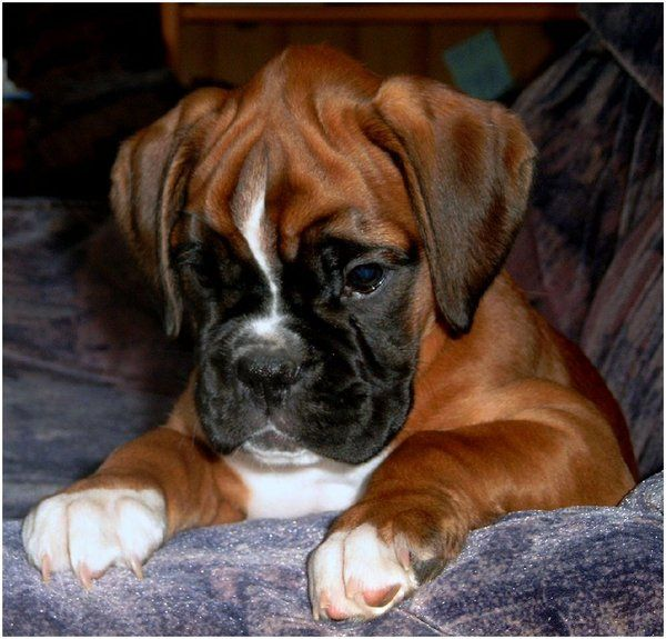 this is a little boxer puppy, it's a boy and his name is Komet ^^ i can't even remember what he was looking for oO ^^