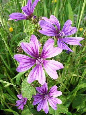 Fleurs Sauvages Mauves Fleurs Pinterest Mauve