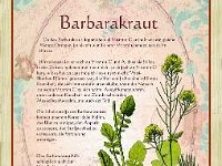 Barbarakraut