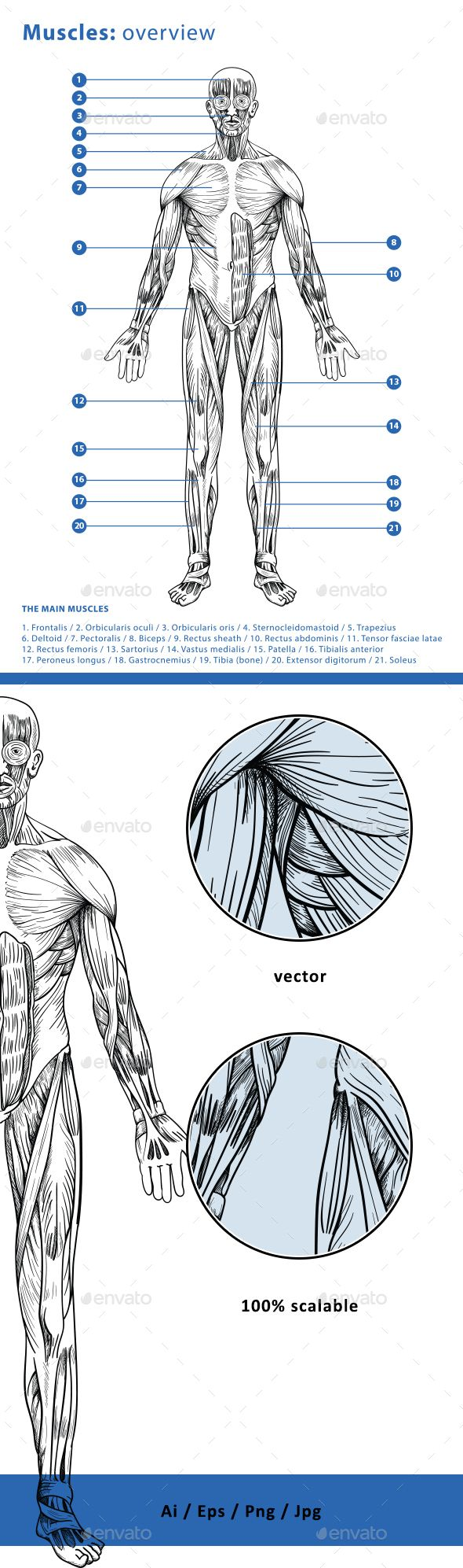 Muscles: Overview - Health/Medicine Conceptual