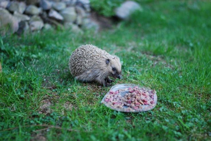 Evening snack for a hedgehog