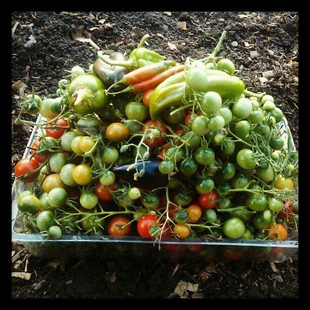 Photo by broadbeanz harvest tomatoes